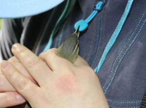 Vireo biting zipper on my jacket