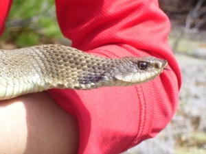 The eastern hog-nosed snake does turn its nose up at everything, but it is not condescending…or so we think.