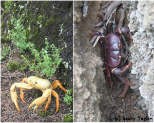 Ascension's land crabs come in two different morphs: purple and orange.