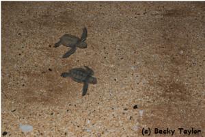 Newly hatched green turtles make their run down the beach to the ocean.