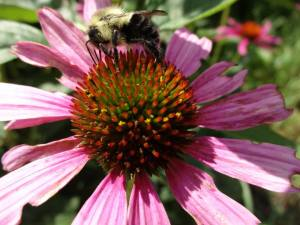 Bumblebee doing his thing on the stunning coneflowers