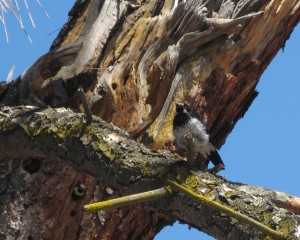 Adult acorn woodpecker tends the granary tree.