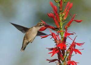 Pollination - wait, no, thievery by hummingbird  at Lobelia cardinalis in Algonquin Park.