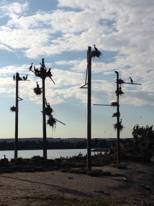Double-crested cormorants waiting on nests.