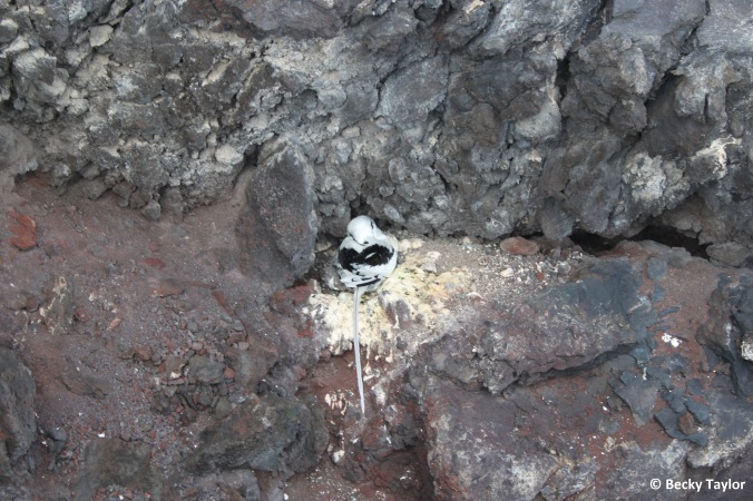 Yellow-billed tropicbird on its nest