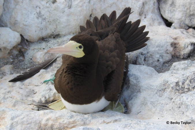 Brown booby chick and an adult on its nest