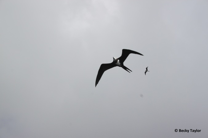 The Ascension frigatebird male with red gular sac visible, and female in flight, showing the sexual dimorphism in this species