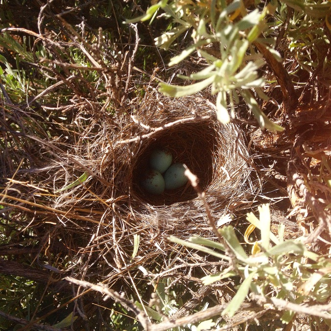 A Brewers sparrow nest found by one of our point count stations