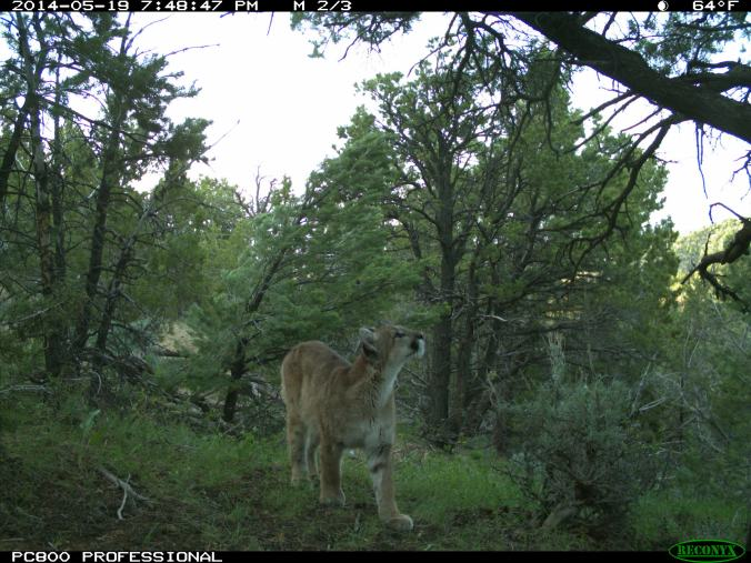 A young mountain lion captured by one of our research cameras.
