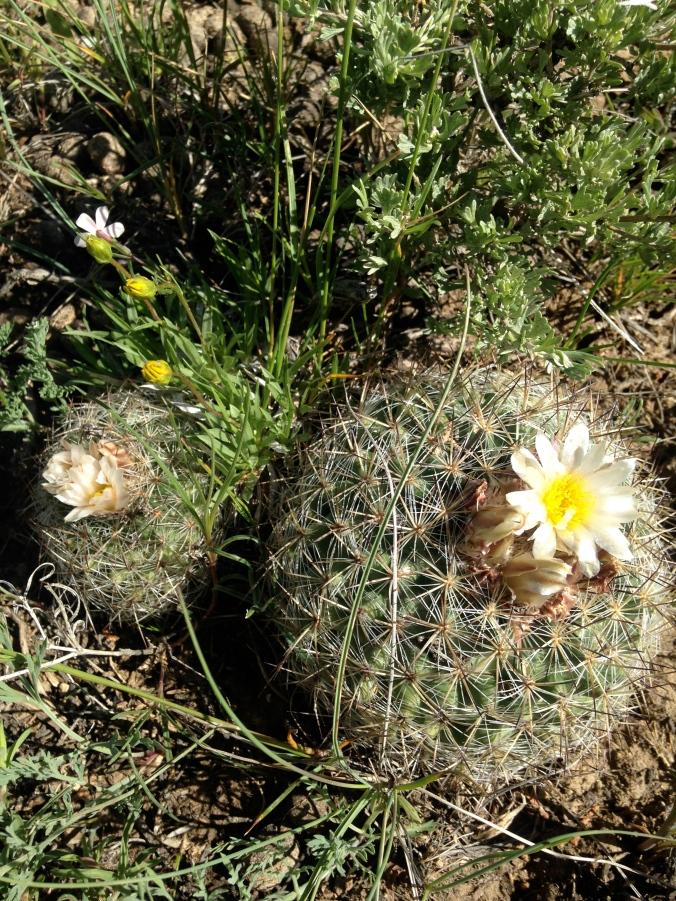 Mountain ball cactus (Pediocactus simpsonii)
