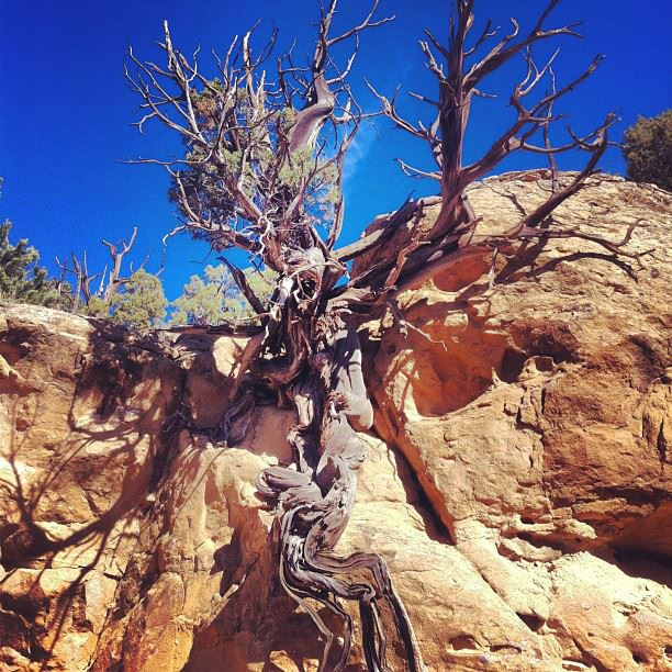 An old Utah juniper growing out of a box canyon wall