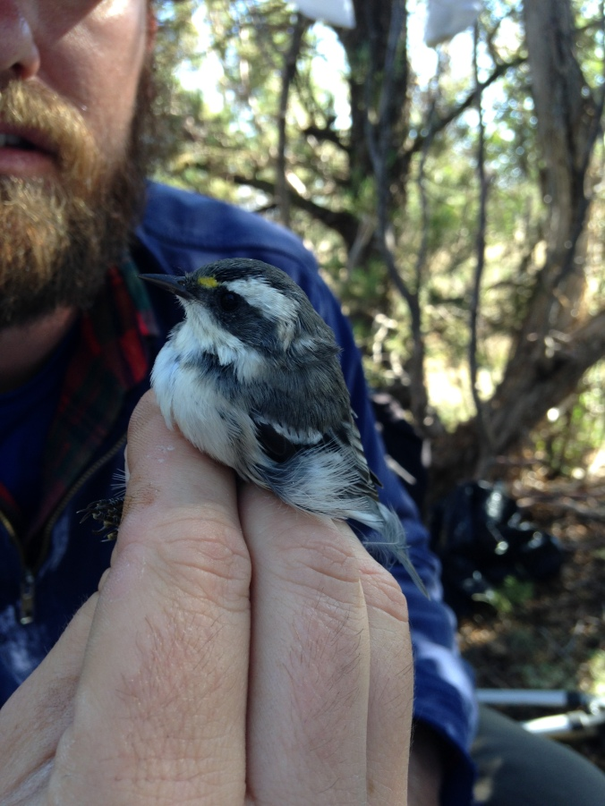 Black-throated grey warbler