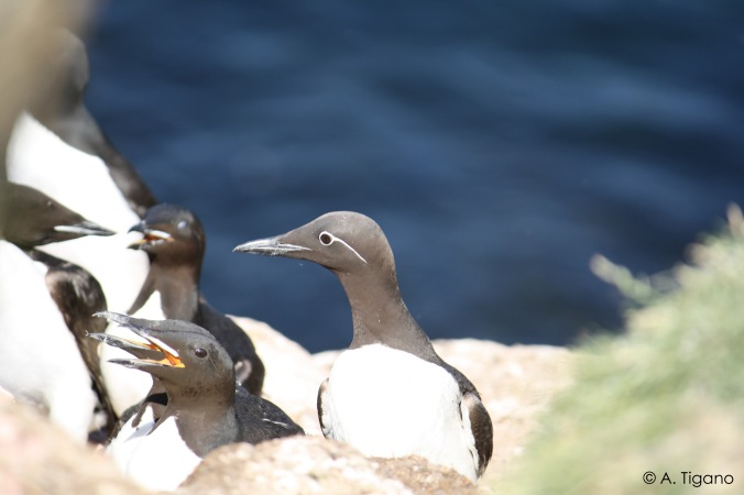 A bridled common murre surrounded by thick-billed murres.