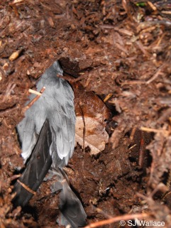 Fork-tailed storm-petrel in a burrow in the dirt