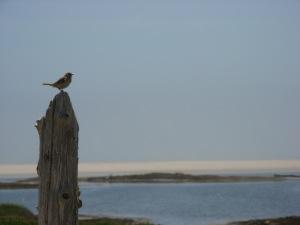 An Ipswich Sparrow surveys his territory.