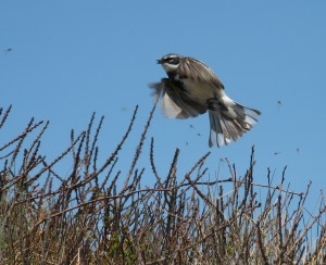 A yellow-rumped warbler forages over a low-lying bush.