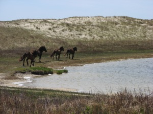 Sable's famous horses staking out their territory