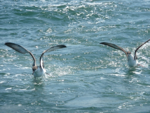 Shearwaters skim the surface in search of food.