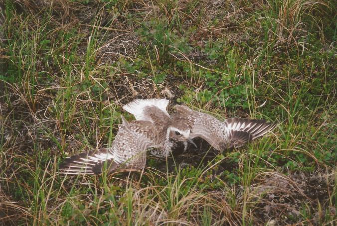 American golden plover performs its broken wing display