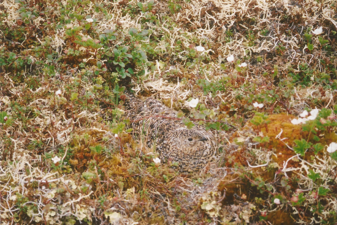 The real Waldo: a female willow ptarmigan broods her nestlings.