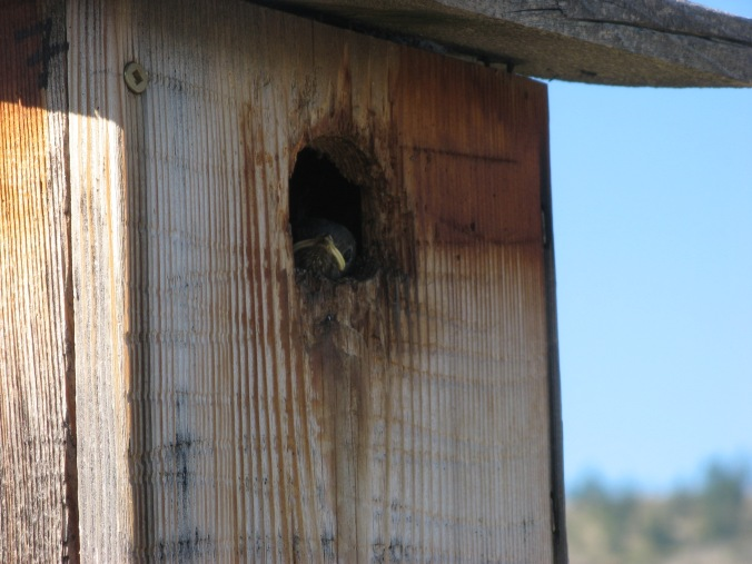 Western bluebird nestling peers out of nestbox.
