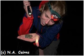Catching spadefoot toads