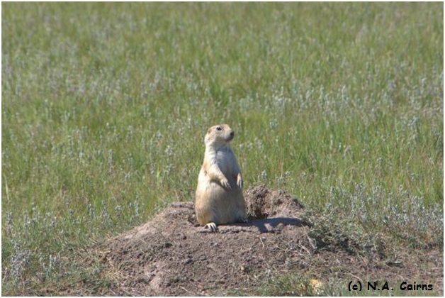 Black-tailed prairie dog surveys the landscape.