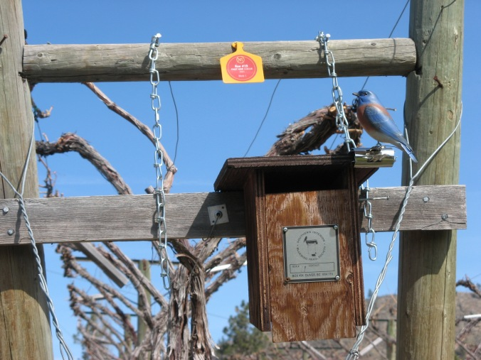 Webster, my decoy Western Bluebird, perches on the edge of a nest box.