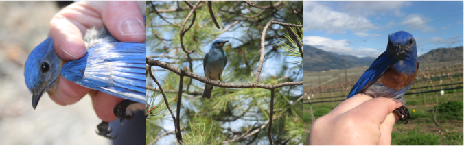 All three bluebird species (eastern bluebird, left; mountain bluebird, centre; western bluebird, right) have beautifully vivid blue plumage.