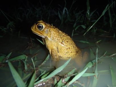 A bright yellow male cane toad