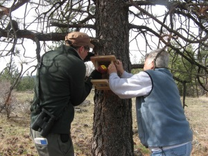Putting up bluebird nest boxes in the southern Okanagan Valley of British Columbia