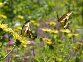 Butterflies smell the flowers