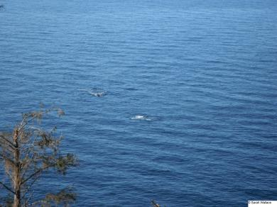 Humpback whales off the coast of the island.