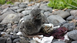 Freshly hatched black oystercatcher chick