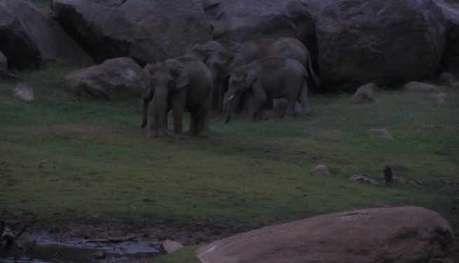 Elephants making their way down to the water in the evening.