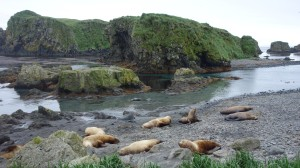 Meet the neighbours: Stellar sea lions lounging at Pleasure Cove