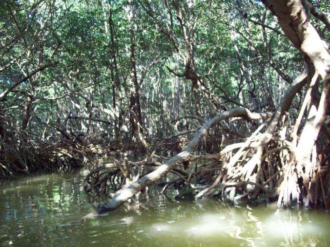 Roots of mangroves protrude out of the water