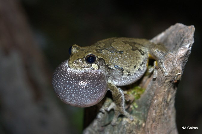 A gray treefrog adds his two cents to the chorus.