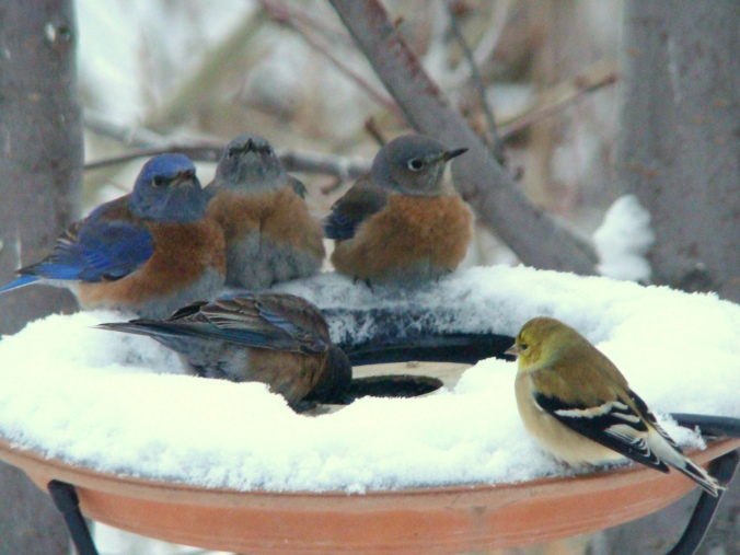 Western bluebird flock (and one lone goldfinch) check out a heated bird bath on a cold winter day. Photo credit: Eva Durance.