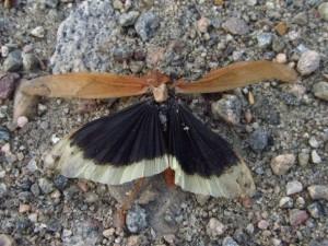photo of a carolina locust, looks like a butterfly
