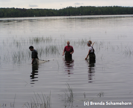 Seining for sunfish in Lake Opinicon.
