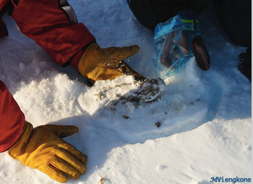 Sampling polar bear poop.
