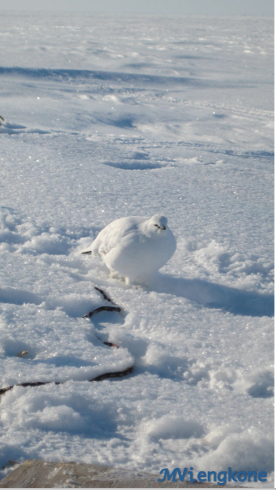 Little rock ptarmigan near the field hut.