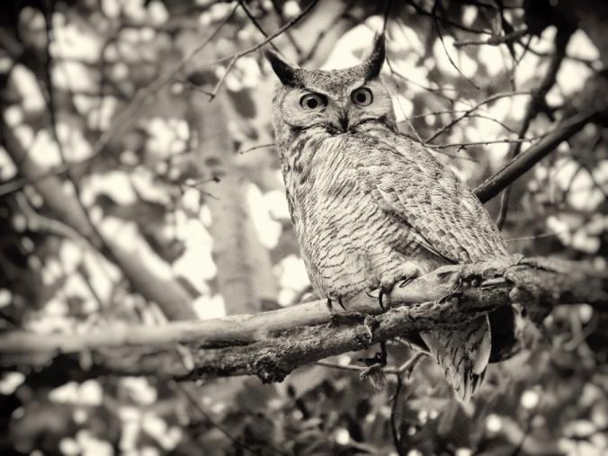 Great-horned owl looks for prey