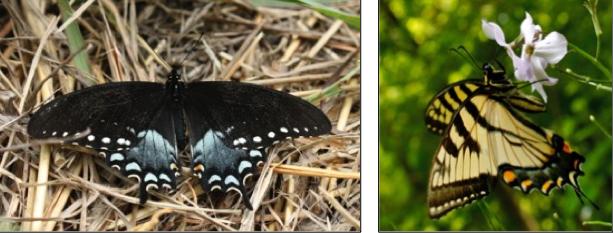 Spicebush swallowtail andEastern Tiger Swallowtail
