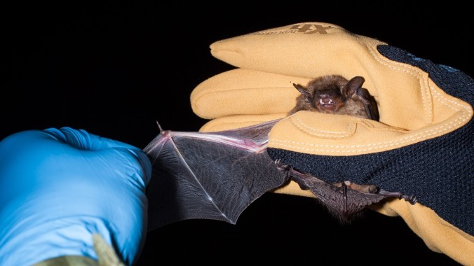 Another picture of a big brown bat, showing the wing extended and the general size of the bat. This bat can give a painful bite, which is why I am wearing a thick glove.