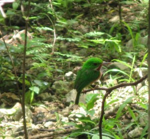 My new favourite bird: the broad billed tody.