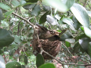 Female black-whiskered vireo sitting on her nest.