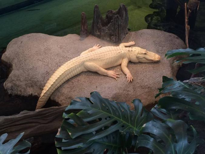 No hiding for this guy! Albino alligator at the California Academy of Sciences.
