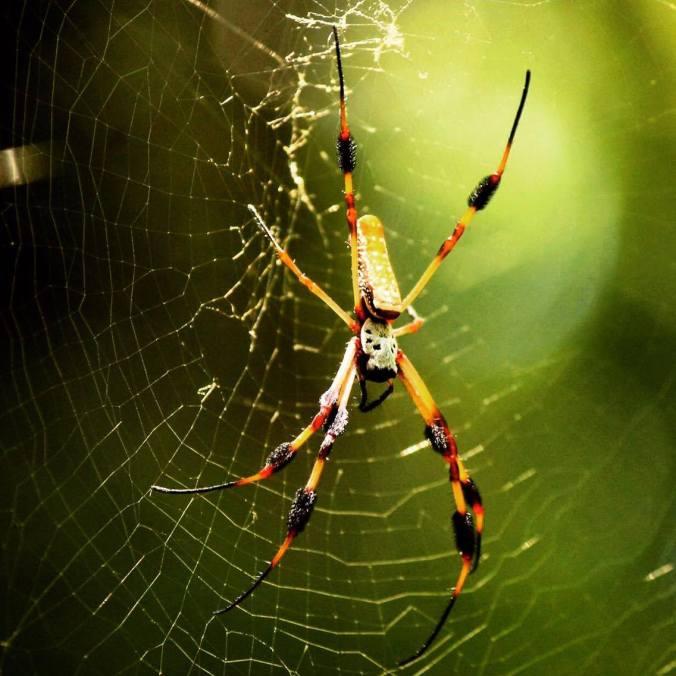Mystery spider - any ideas, anyone?